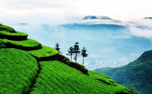 山村茶园风景画