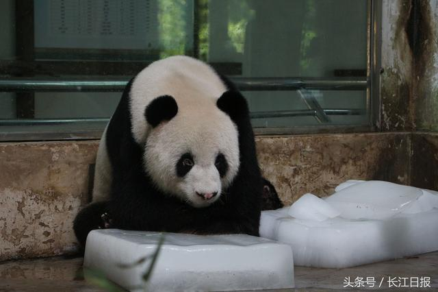 武汉气温攀升,武汉ag游戏直营网 平台园也开始采购冰块,供ag游戏直营网 平台们消暑,怕热的黑熊
